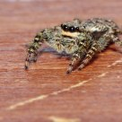 Marpissa muscosa - Jumping spider